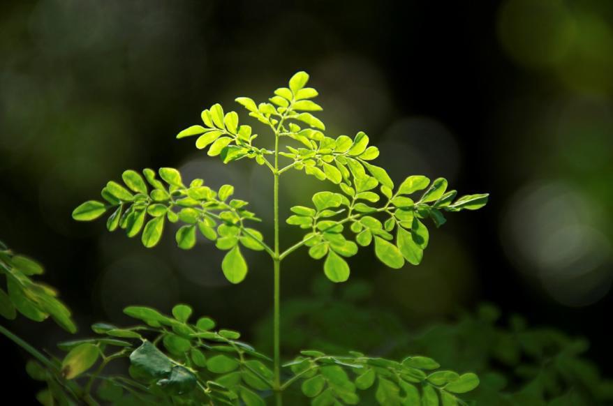 About Moringa Oleifera