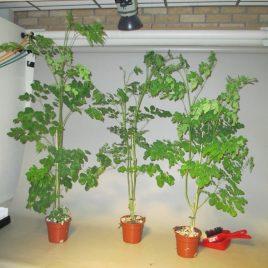 Moringa Oleifera Boom – Miracle Tree