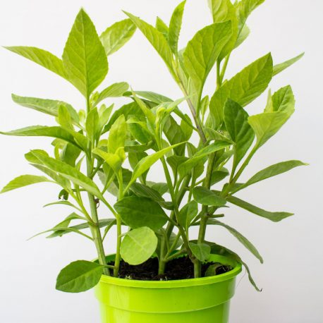 Gynura procumbens – moringas finest