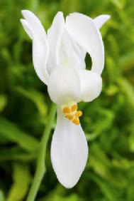 Moringa Blume - Moringa Oleifera - Deutschland